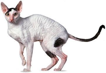 Le chat Cornish rex, information et caractère du chat.