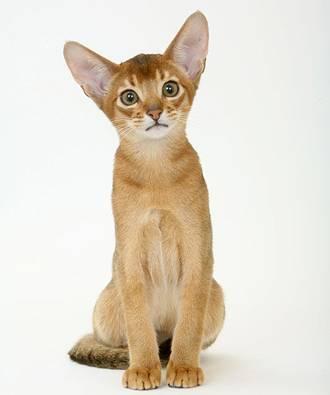 Le chat abyssin, information et caractère du chat