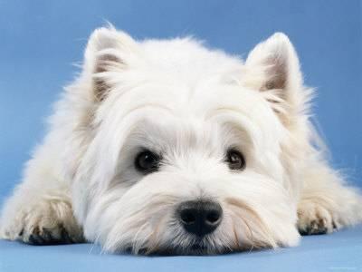 Le chien West Highland, information et caractère du Westie