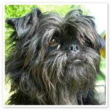 Le chien affenpinscher, information et caractère du chien