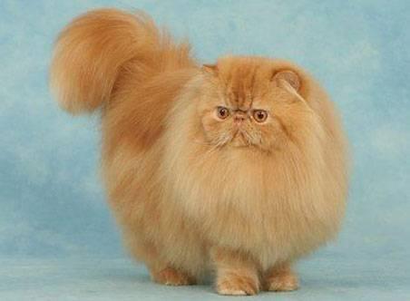 Le chat persan, information et caractère du chat