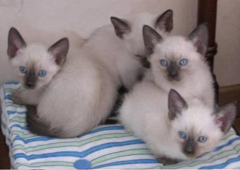 Le chat siamois, information et caractère du chat