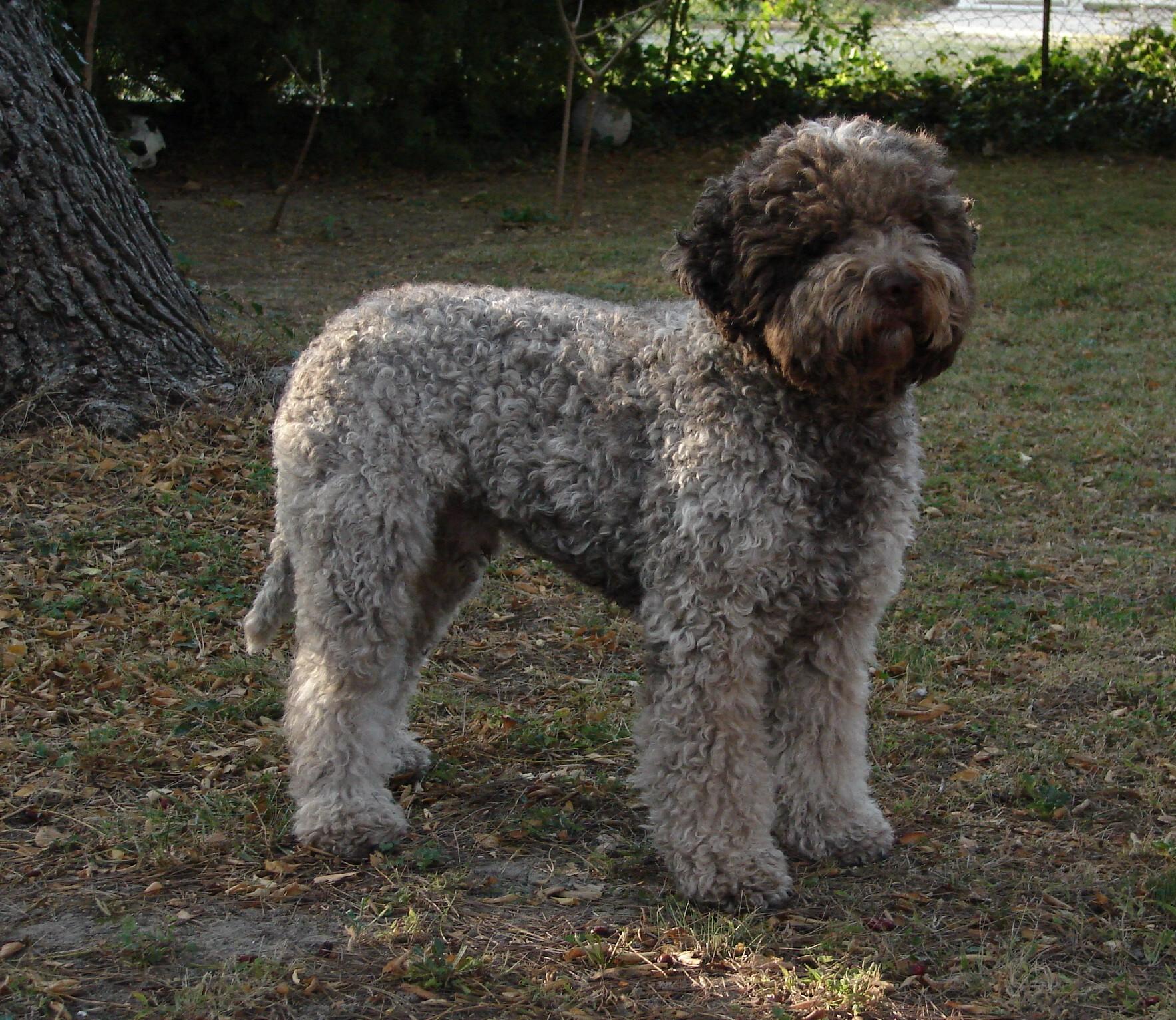 le standart du Lagotto-Romagnolo (seul chien truffier reconnu par la Fédération Canine Internationale)