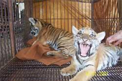 Temple des tigres: Reproduction illégale!