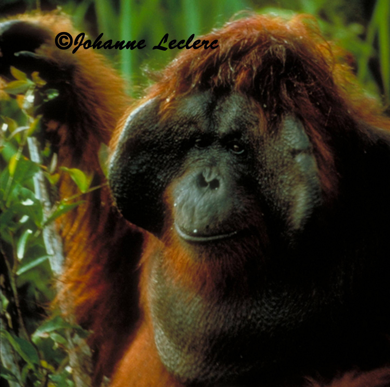 Comportement Animal / Charme et séduction chez l'orang-outan en milieu naturel / Comportement et choix de la femelle