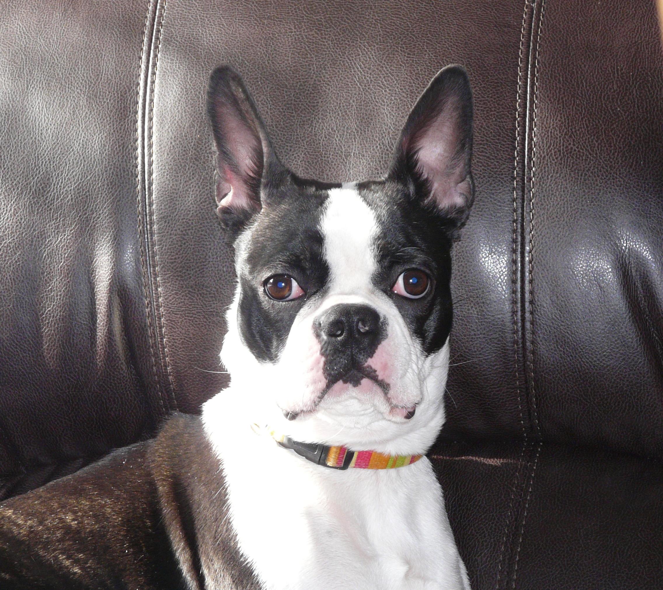 Information sur le chien Boston Terrier et caractère du Boston Terrier