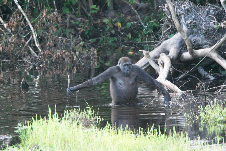 Conférence sur le Comportement Animal/ Conférencier Johanne Leclerc, biologiste/ L'utilisation des outils chez le bonobo, le chimpanzé, le gorille et l'orang-outan en milieu naturel et en captivité
