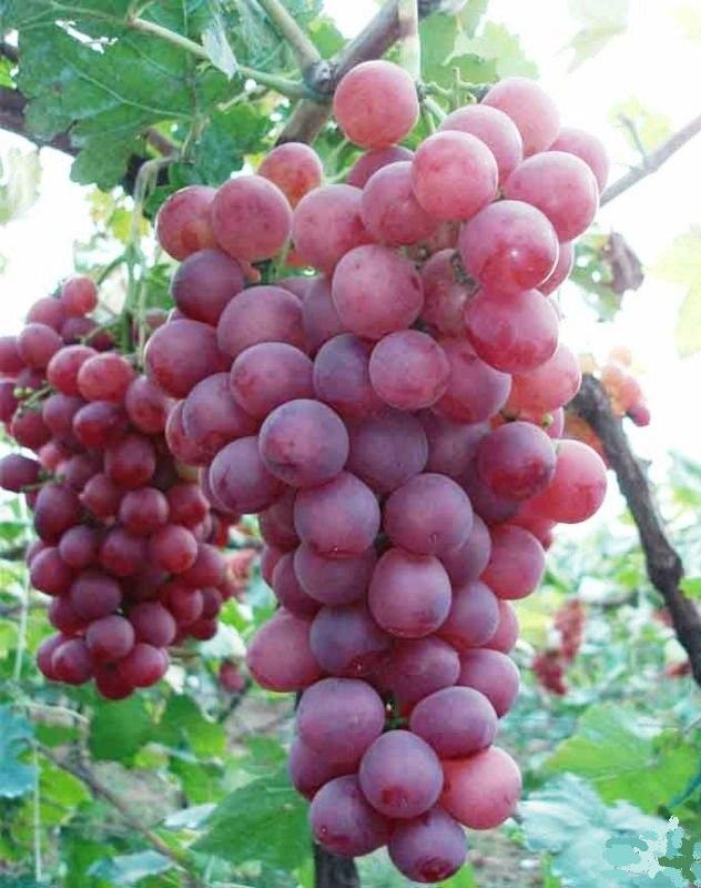 Tunisie Bizerte très belle exploitation Seria sur plus de 6 ha dont 5 de raisins de table
