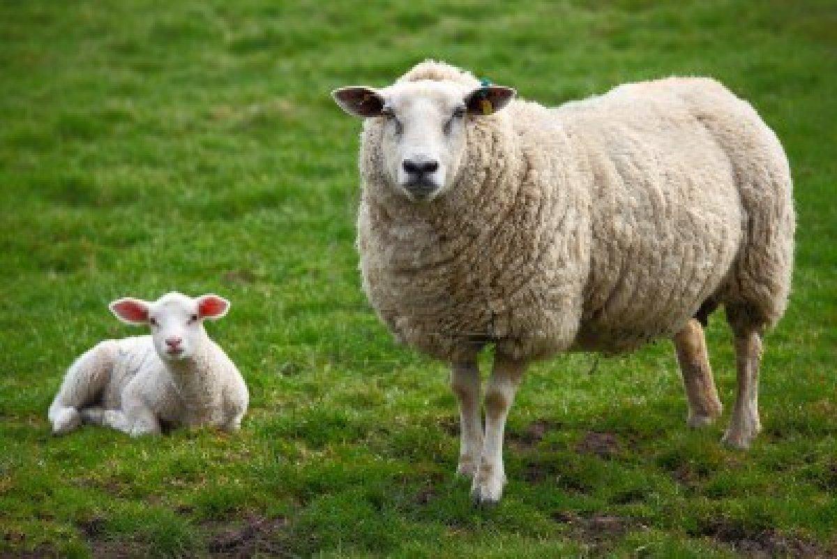 Des moutons en guise de jardinier!