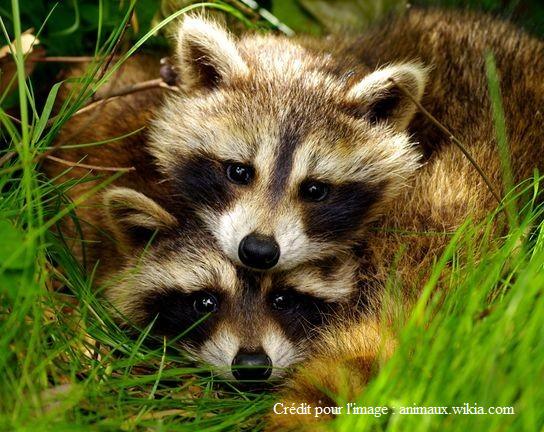 Raton laveur, marmotte, moufette et autres petits animaux dans la cours !