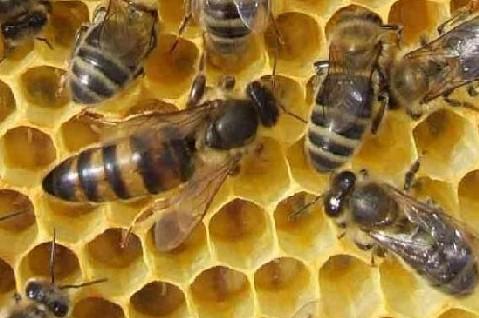 Marquer facilement la reine des abeilles