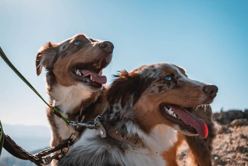 Berger Australien : Le chien préféré des français en 2019