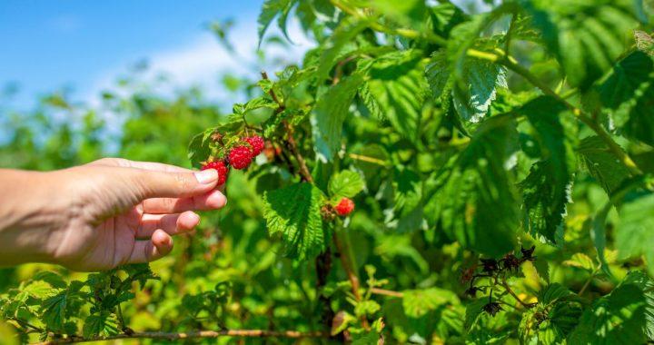 Meilleurs fruits vitaminés et faciles à cultiver chez soi!