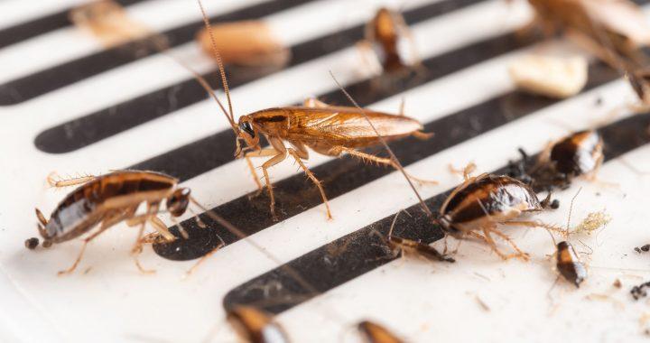 Les Cinq parasites et insectes les moins connus au mondes
