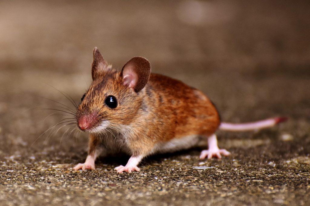 débarrasser des souris