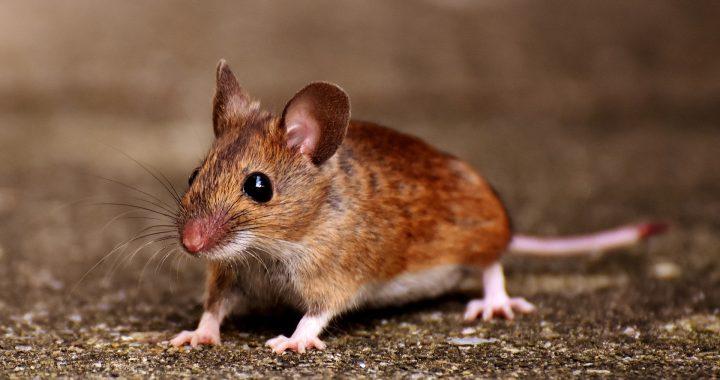 Les différentes méthodes pour se débarrasser des souris