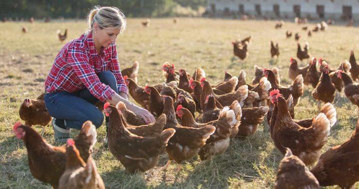 Elevage de poulet en Roumanie