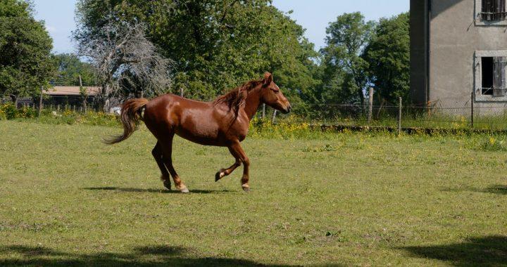 Arthrose cheval : phytothérapie ou anti-inflammatoires ?