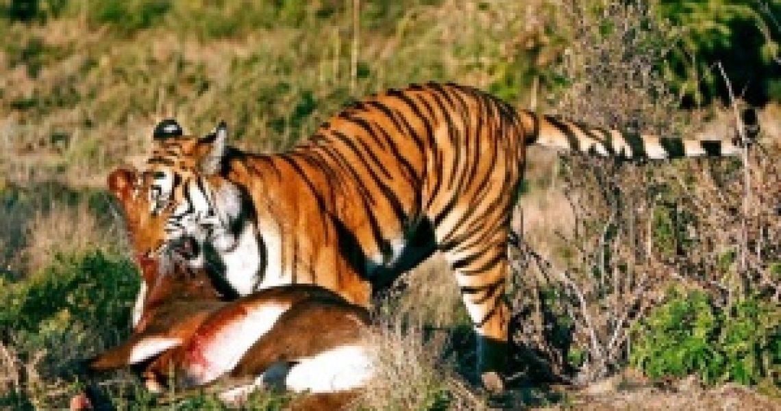 300px-Tigre_de_Chine_méridionale_et_sa_proie,_une_antilope